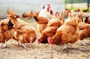 Lenti a contatto per polli e galline